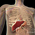 Transparent View Of Human Torso Showing by Stocktrek Images