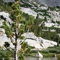 Treasure Lake Pine by Chris Brannen