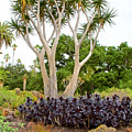 Tree And Succulents In Huntington Desert Gardens In San Marino-california by Ruth Hager