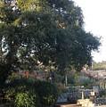 Tree At Mission Carmel by Jeanie Watson