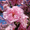Tree Blossoming Pink Spring Blue Sky Baslee Troutman by Baslee Troutman