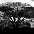 Tree by Douglas Stucky