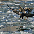 Tree Eagles On Ice by Paula Guttilla