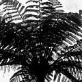 Tree Fern by Coral Dolan