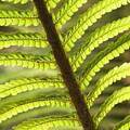 Tree Fern Frond by Greg Vaughn - Printscapes