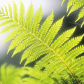 Tree Fern by Ron Dahlquist - Printscapes