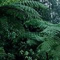 Tree Ferns by Jane Gatward