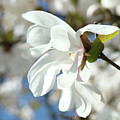 Tree Floral Garden White Magnolia by Baslee Troutman