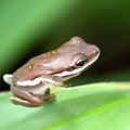 Tree Frog Close-up 01110 by Anna Gibson