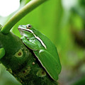 Tree Frog by Keith Peacock