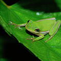Tree Frog On Hibiscus Leaf by DigiArt Diaries by Vicky B Fuller