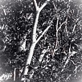 Tree In Summer In Black And White by Debra Lynch
