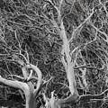 Tree Near Wawona by Jim Dohms