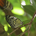 Tree Nymph Butterfly Sitting On A Tree Branch by DejaVu Designs