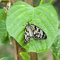 Tree Nymph Butterfly by Steve and Donna Krumenaker