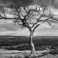Tree On Enchanted Rock In Black And White by Todd Aaron