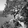 Tree On Mount Bonnell by Lindsey Orlando