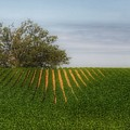 9010 - Tree Overlooking Farm Field by Sheryl Sutter