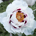 Tree Peony by Ann Jacobson