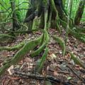 Tree Roots In Chalalan Rainforest by Aivar Mikko