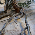Tree Roots On The Tent Rock by Shirley Stevenson Wallis