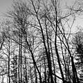 Tree Silhouette Bw by Stephanie Hanson