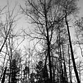 Tree Silhouette II Bw by Stephanie Hanson