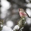 Tree Snow Sitter by Schalk Lombard