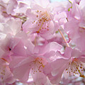 Tree Spring Pink Flower Blossoms Art Print Baslee Troutman by Baslee Troutman