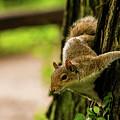 Tree Squirrel by Mirko Chianucci