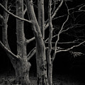Beech Tree by Dave Bowman