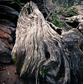 Tree Stump by Sylvia Sanchez
