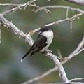 Tree Swallow by Ben Upham III