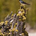 Tree Swallow by Chad Davis