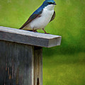Tree Swallow by Dave Thompsen