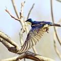 Tree Swallow In Flight by Kerri Farley