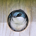 Tree Swallow In Nest Box by Jennie Marie Schell