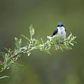 Tree Swallow Male by Bill Wakeley