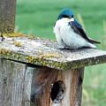 Tree Swallow by Nick Gustafson
