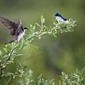 Tree Swallows by Bill Wakeley