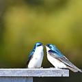 Tree Swallows  by Jamie Lenh