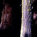 Tree Trunks by Chris Gudger