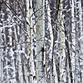 Tree trunks covered with snow in winter by Elena Elisseeva