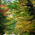 Trees Along The Flumes Trail by Catherine Gagne