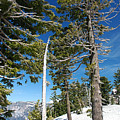 Trees And Snag At Crater Lake by Katherine Nutt