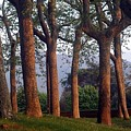 Trees At Sunset by Stacey Lanning