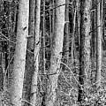 Trees by Debra Cutchins