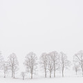 Trees In A White Landscape In A Blizzard by IPics Photography