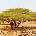 Trees In Kenya by Marek Poplawski
