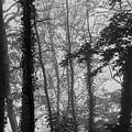 Trees In Mist by David Halperin